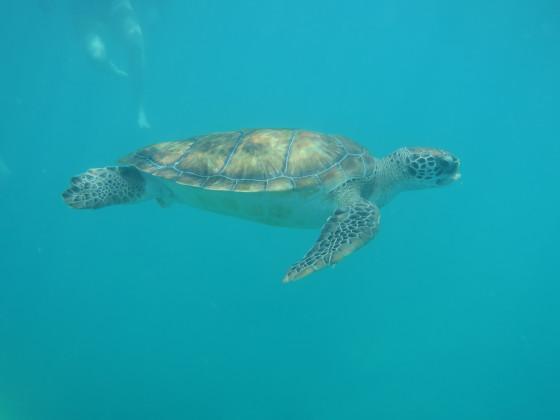 Turtle Barbados 2018